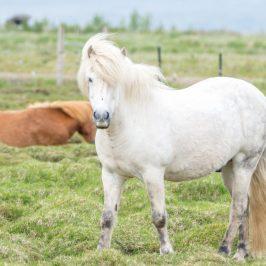 Ein Islandpferd auf einer Weide